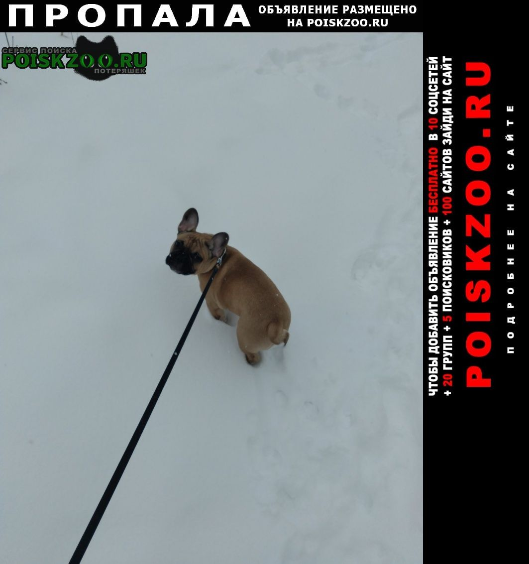 Пропала собака кобель французкий бульдог Нижний Новгород