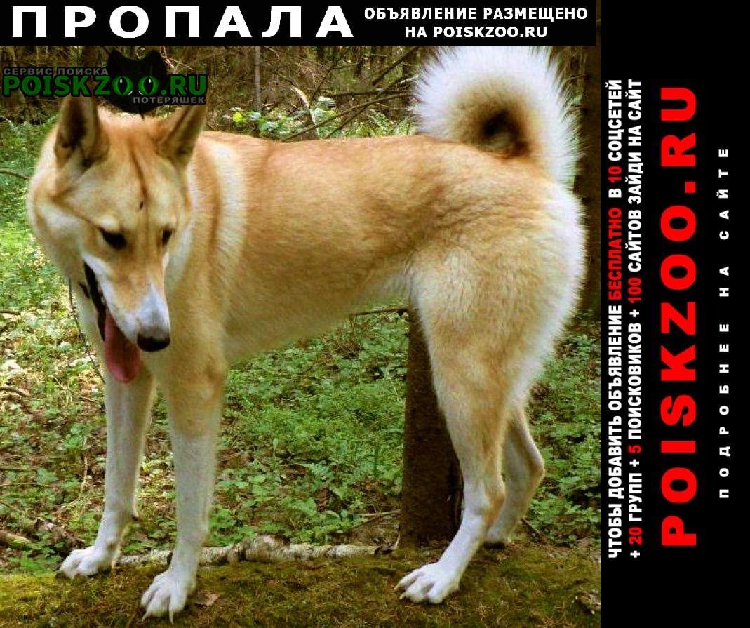 Пропала собака убежала лайка западно-сибирская Истра