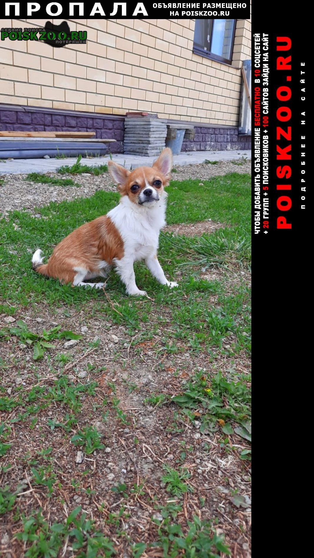 Пропала собака рыже-белая чихуахуа Екатеринбург