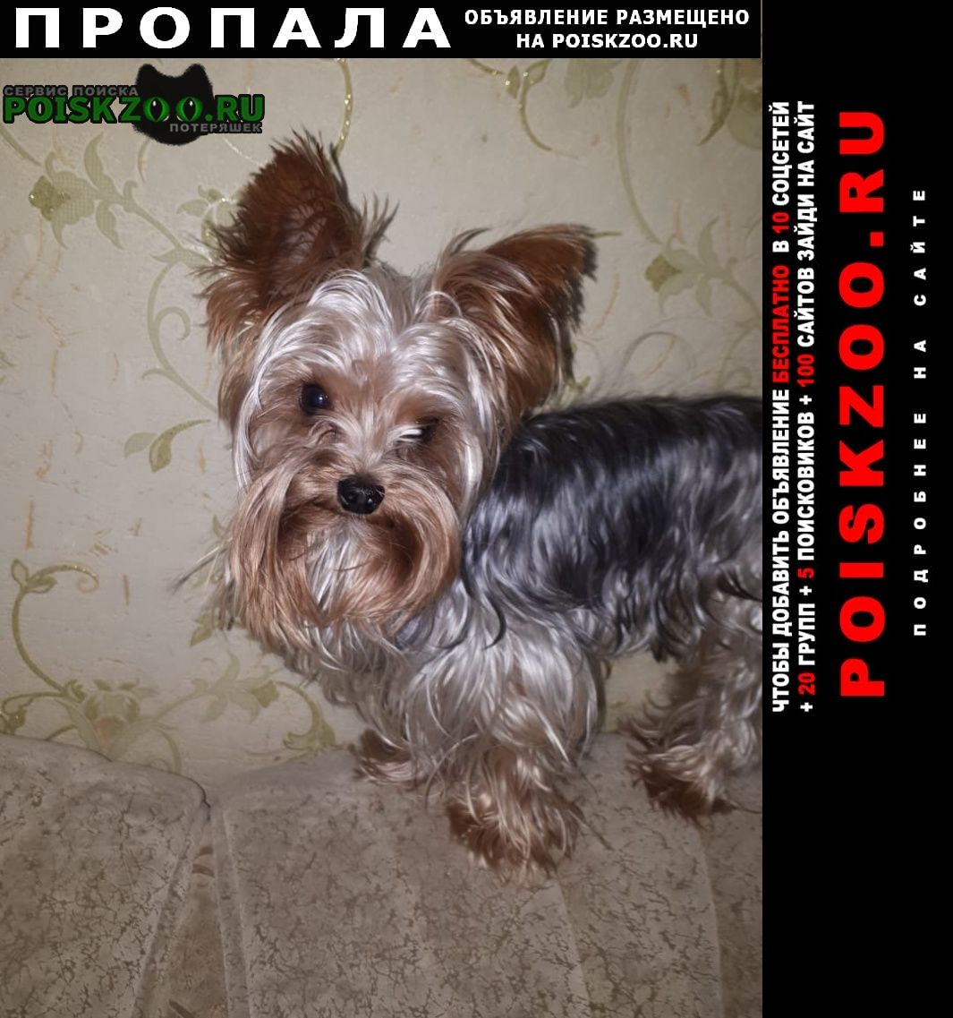 Пропала собака кобель йорк. красный камень 4 июня. Киселевск