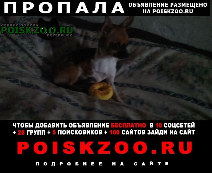 Пропала собака чихуахуа Ижморский