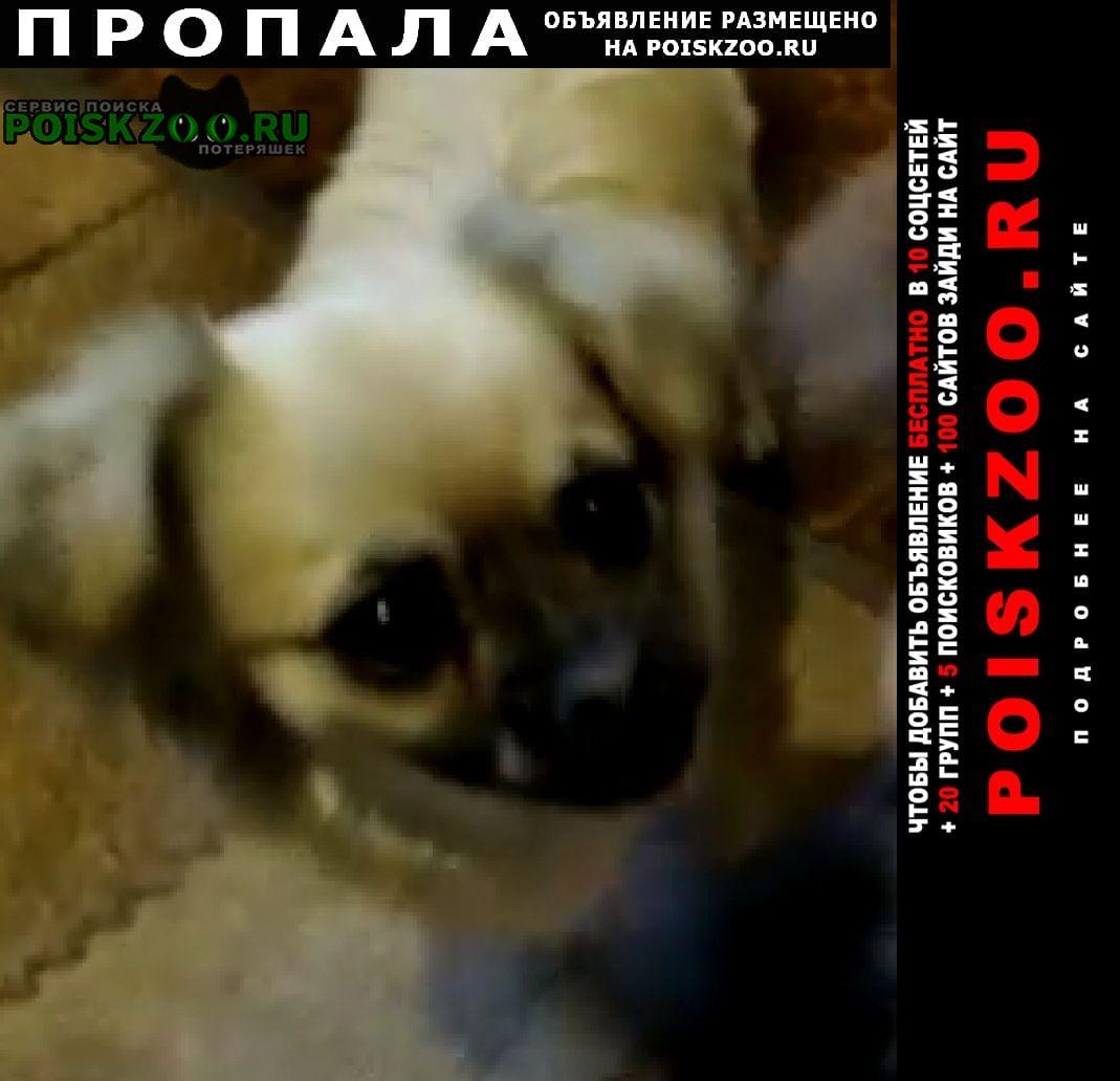 Пропала собака девочка. зовут джина. Черкесск Карачаево-Черкесская Республика