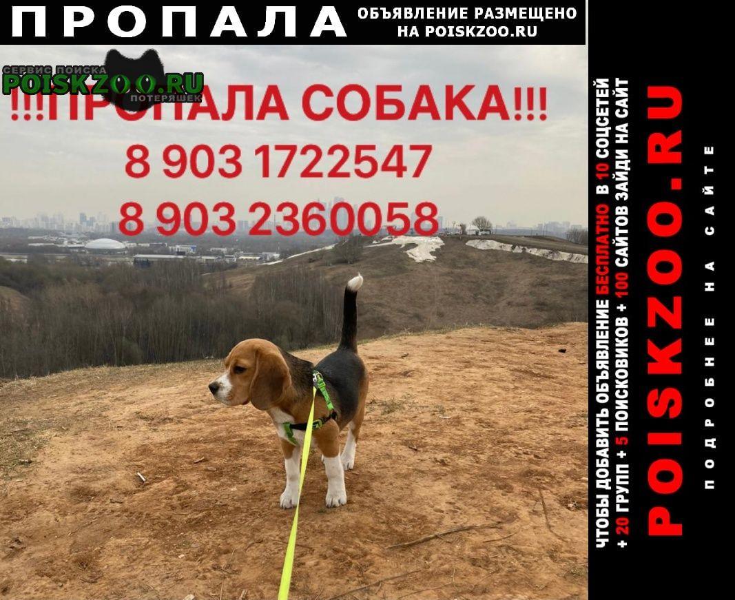 Пропала собака девочка бигль Волоколамск