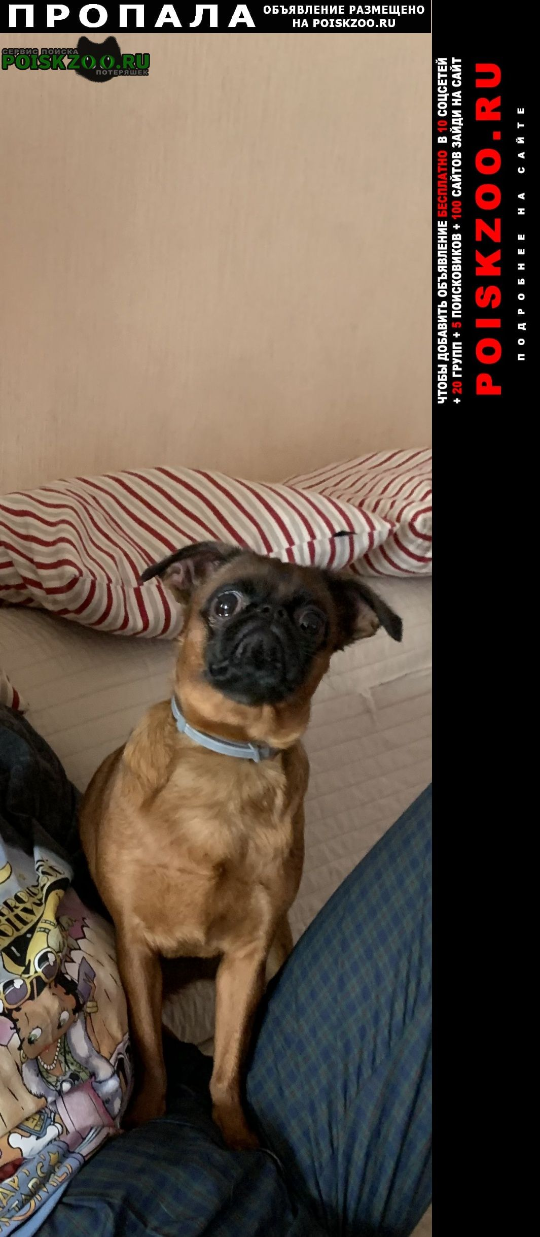 Пропала собака порода брабансон Москва