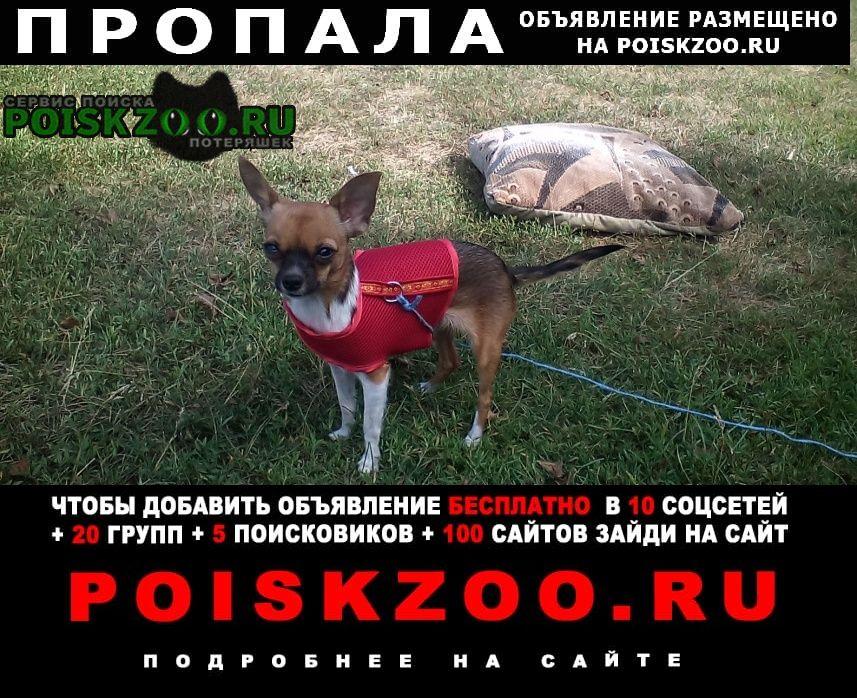Пропала собака маленькая собачка чихуахуа Ижморский