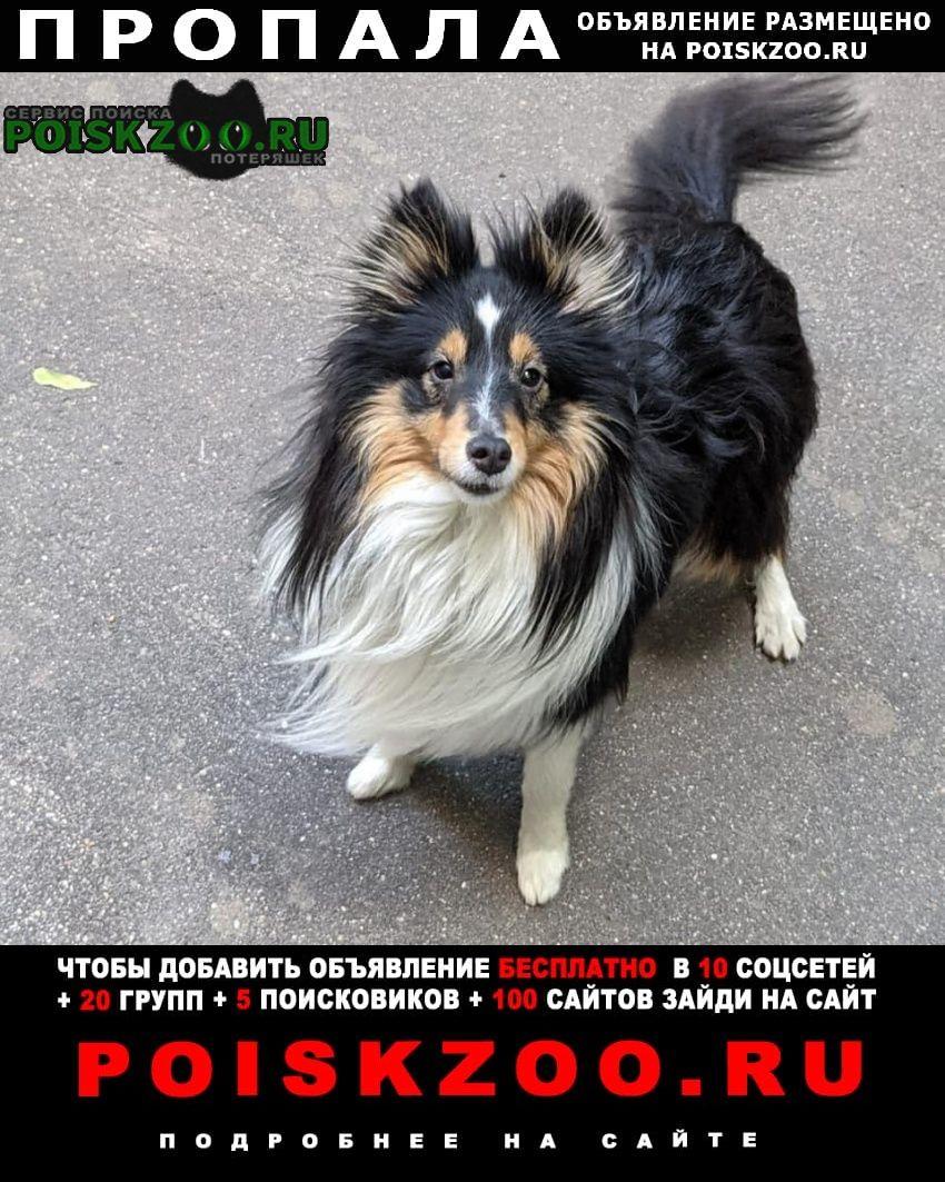 Пропала собака кобель шелти Москва
