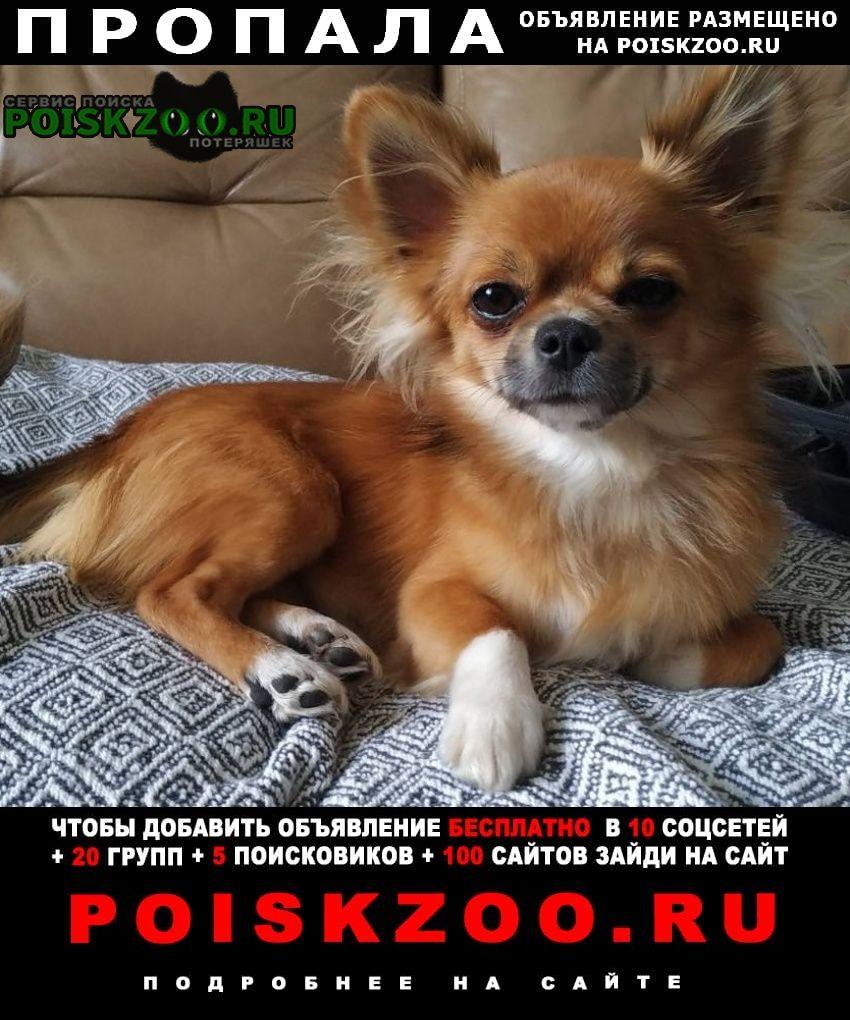 Пропала собака кобель чихуахуа д. кувардино Кстово