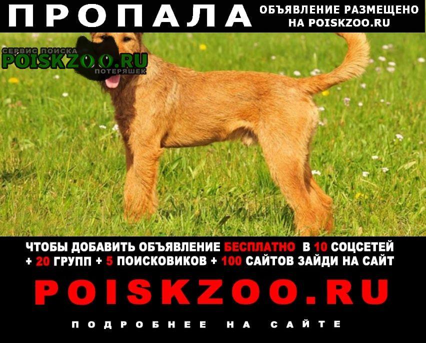 Пропала собака кобель ирландский терьер Александровская