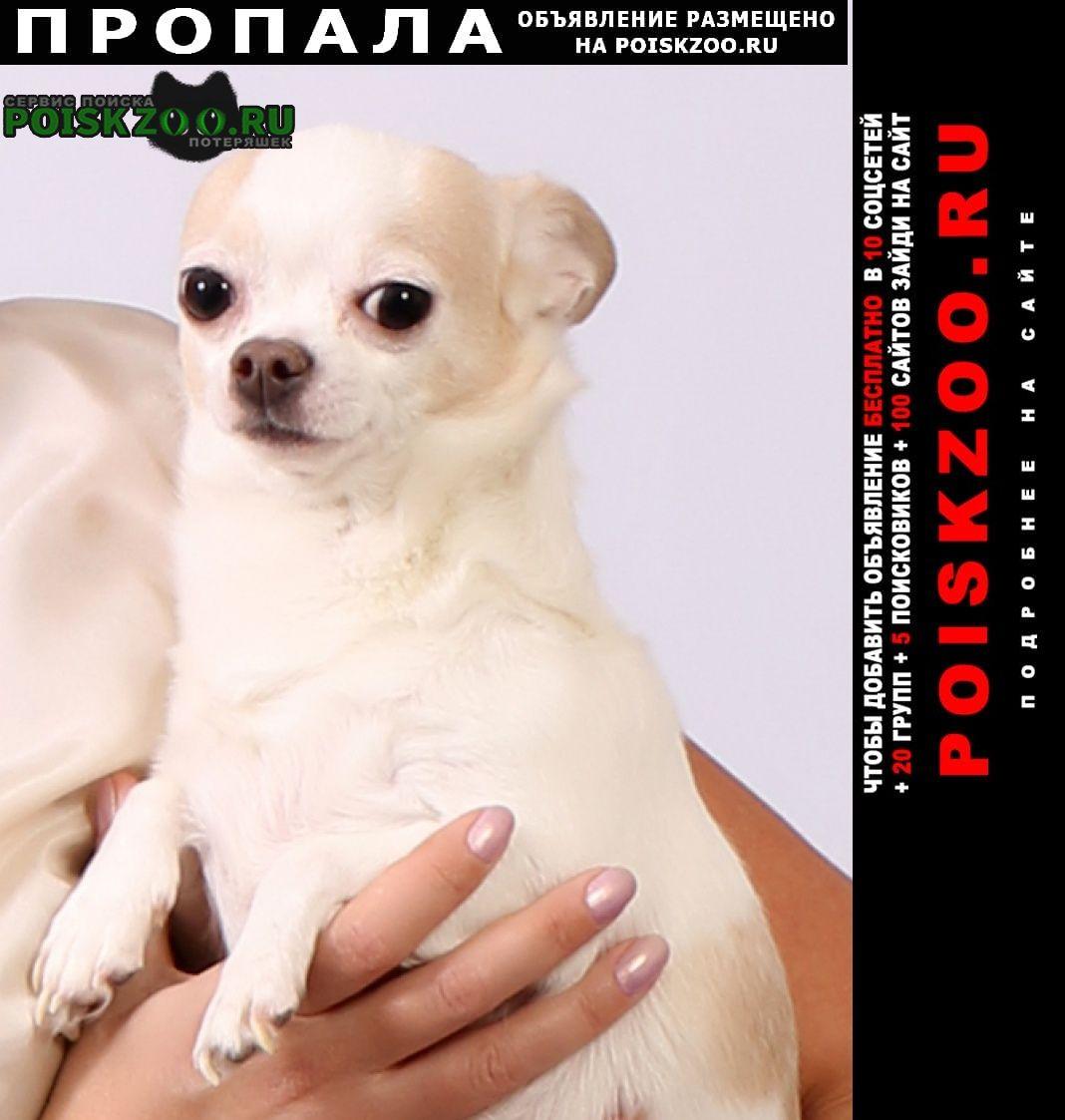 Пропала собака чихуа-хуа Нижневартовск