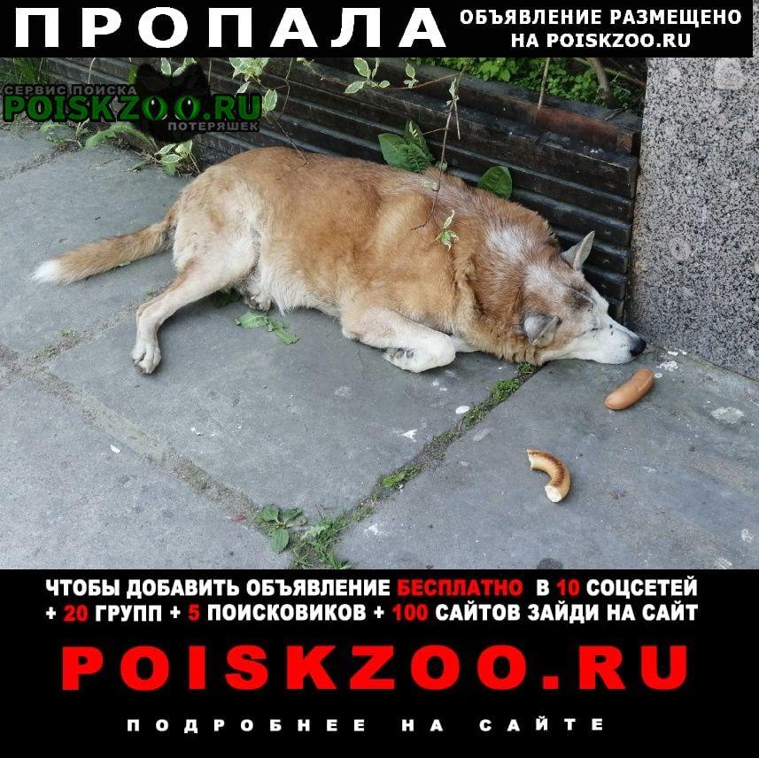 Пропала собака кобель беспородный пёс. Зеленогорск (Ленинградская обл.)