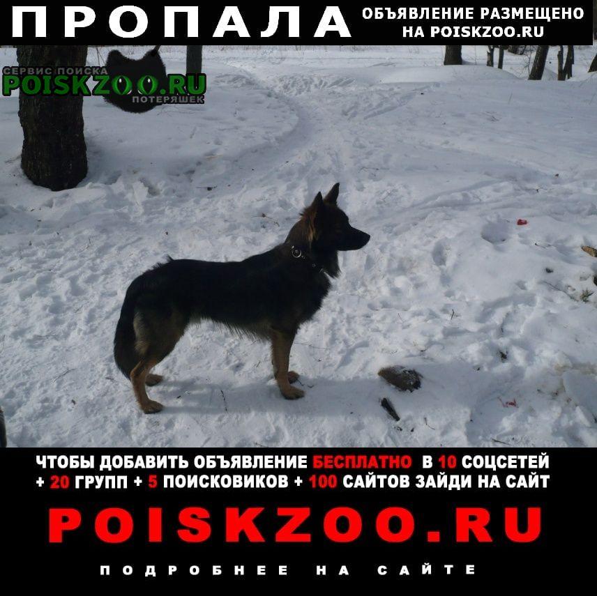 Пропала собака кобель метис овчарки Подольск