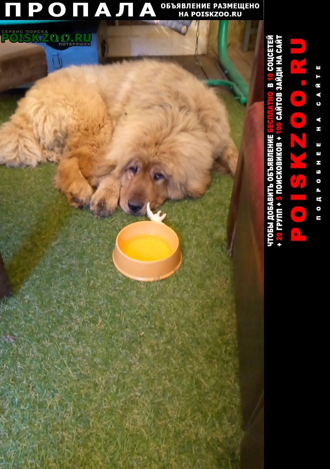 Пропала собака девочка тибет Печоры