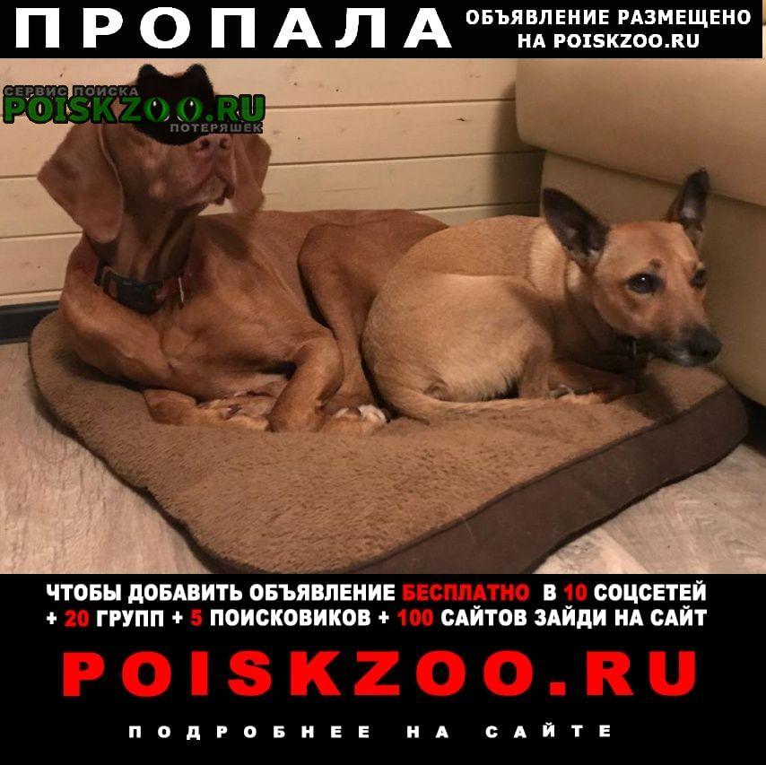 Пропала собака кобель Дмитров