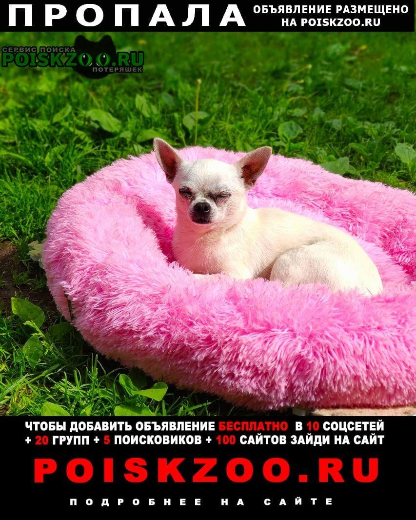 Пропала собака кобель белый чихуахуа, 6лет Одинцово