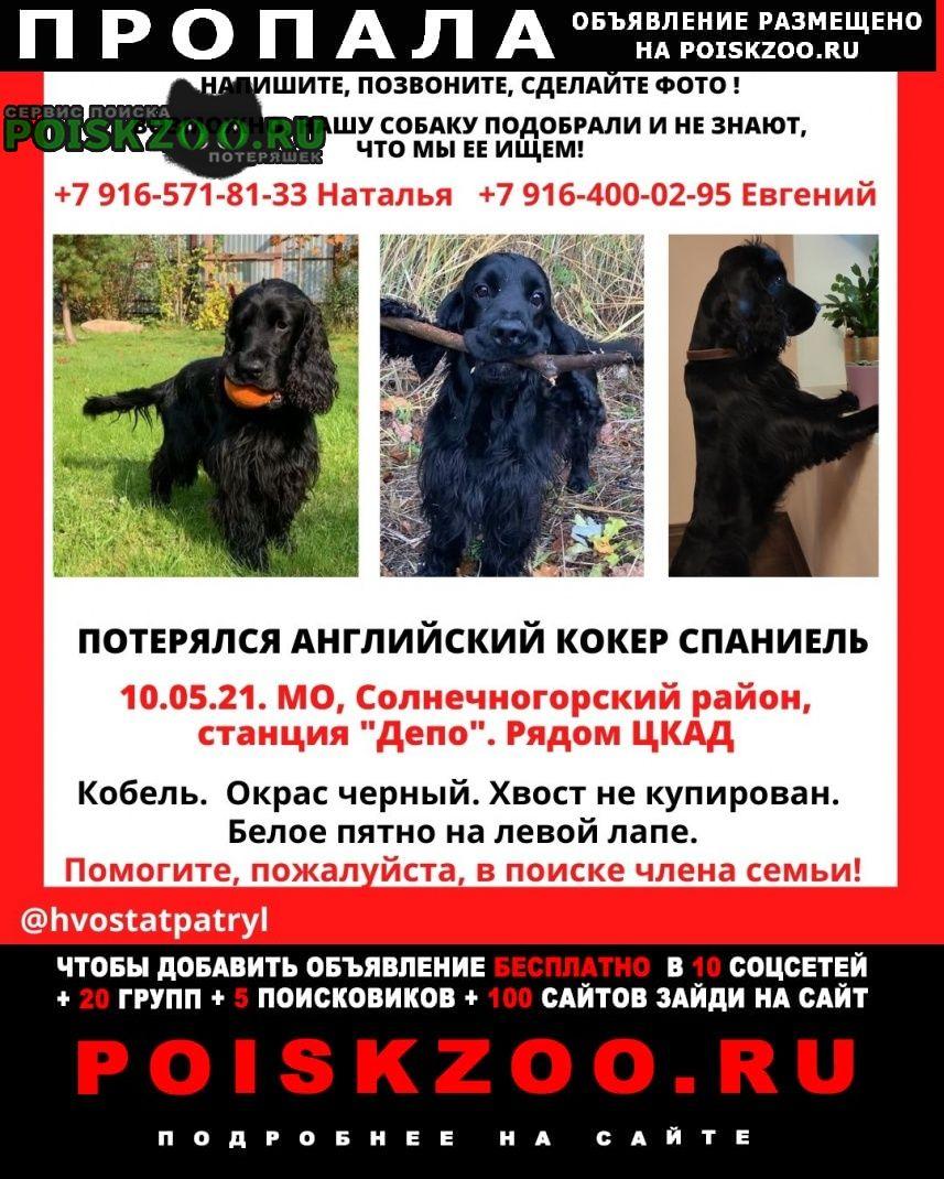 Пропала собака кобель английский кокер спаниель Зеленоград