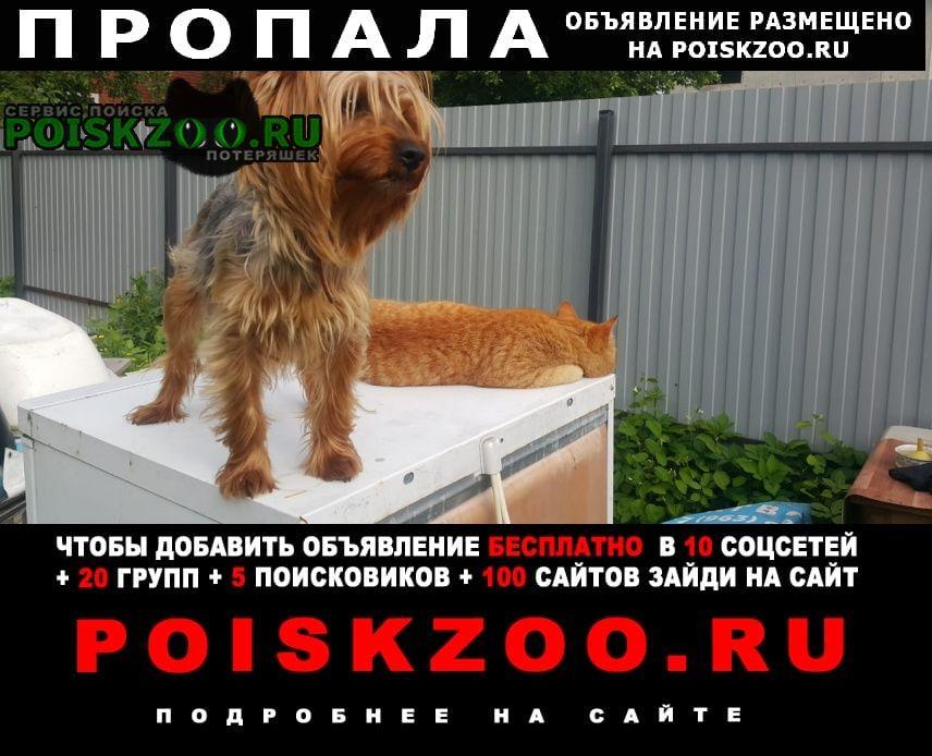 Пропала собака йорк терьер Домодедово
