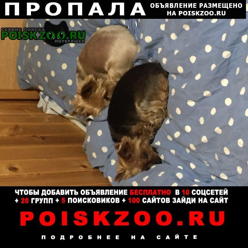 Пропала собака и два йоркширских терьера Домодедово