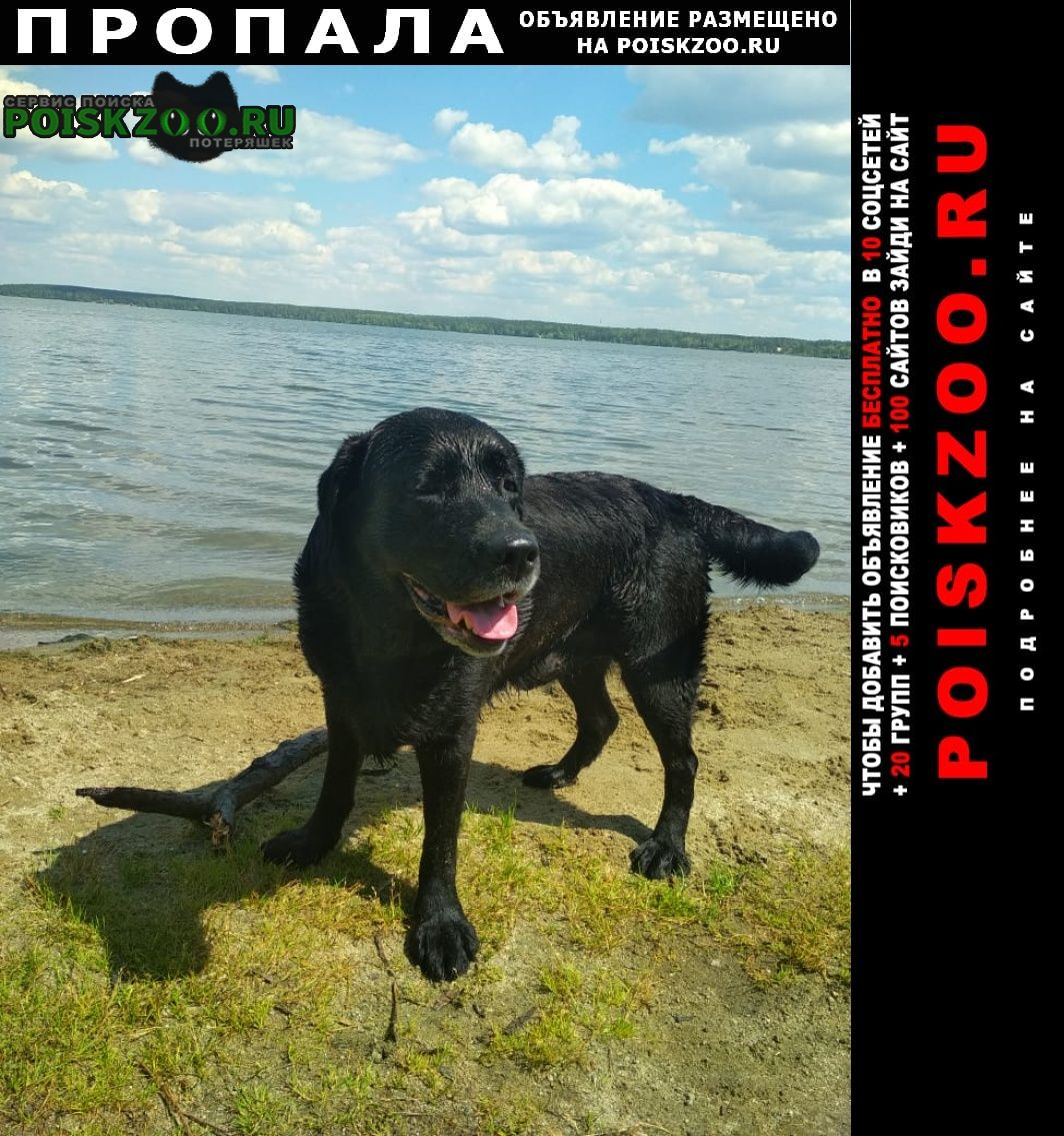 Пропала собака кобель лабрадор Екатеринбург