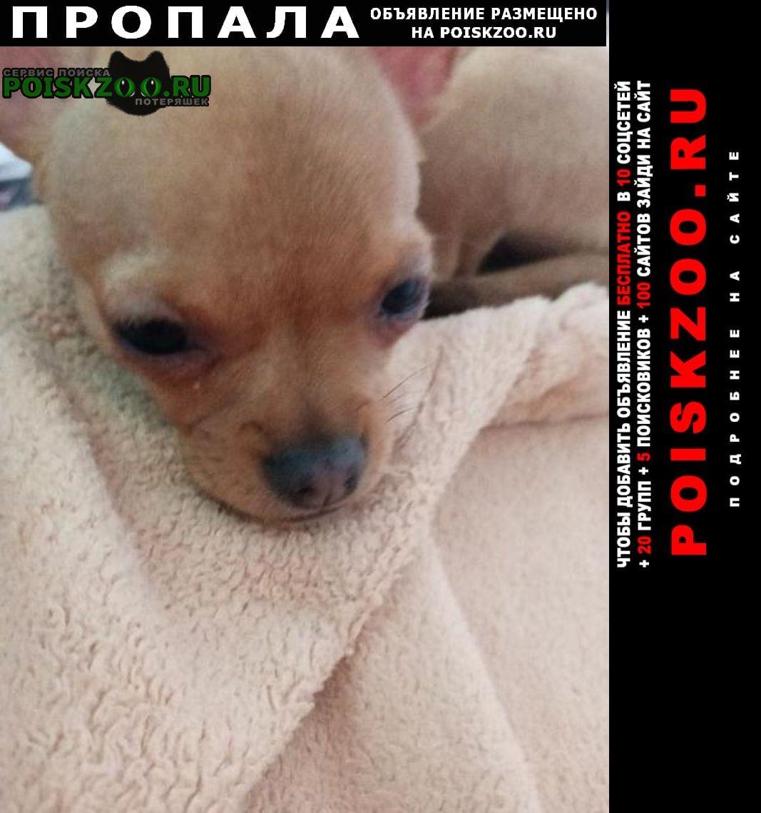 Пропала собака чихуахуа прикубанский округ Краснодар