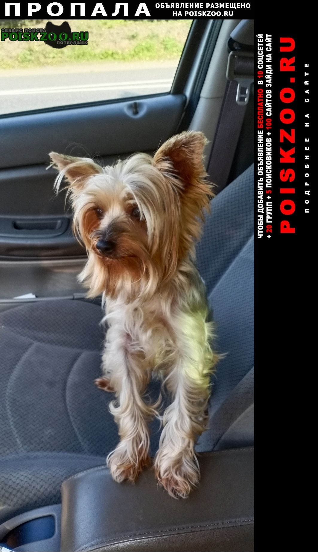 Пропала собака йоркширский терьер Солнечногорск