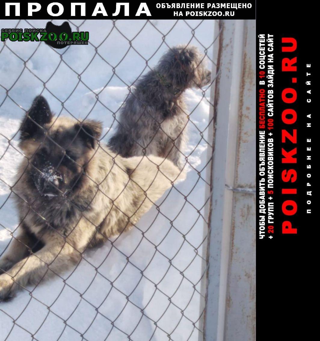 Пропала собака кобель 3 года зовут рекс. Голицыно (Московская обл.)