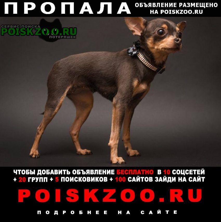 Пропала собака мини тоечка 2 года Нижний Новгород