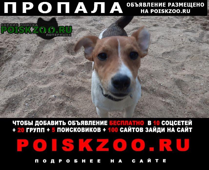 Пропала собака кобель ждек рассел 7мес. Можайск