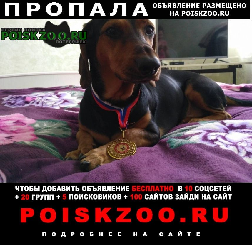Пропала собака кобель такса Пермь