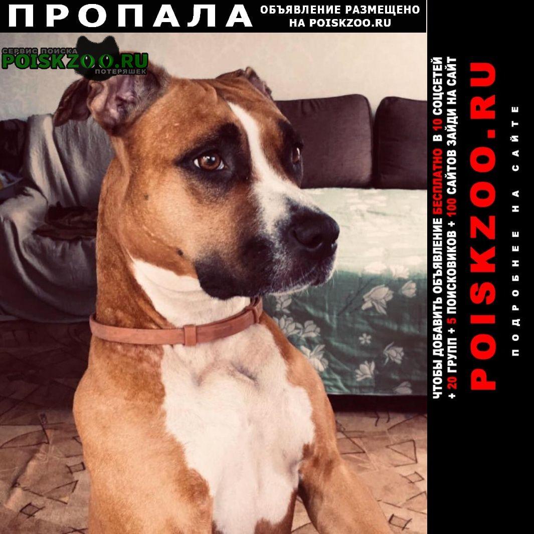 Пропала собака амстафф девочка Москва