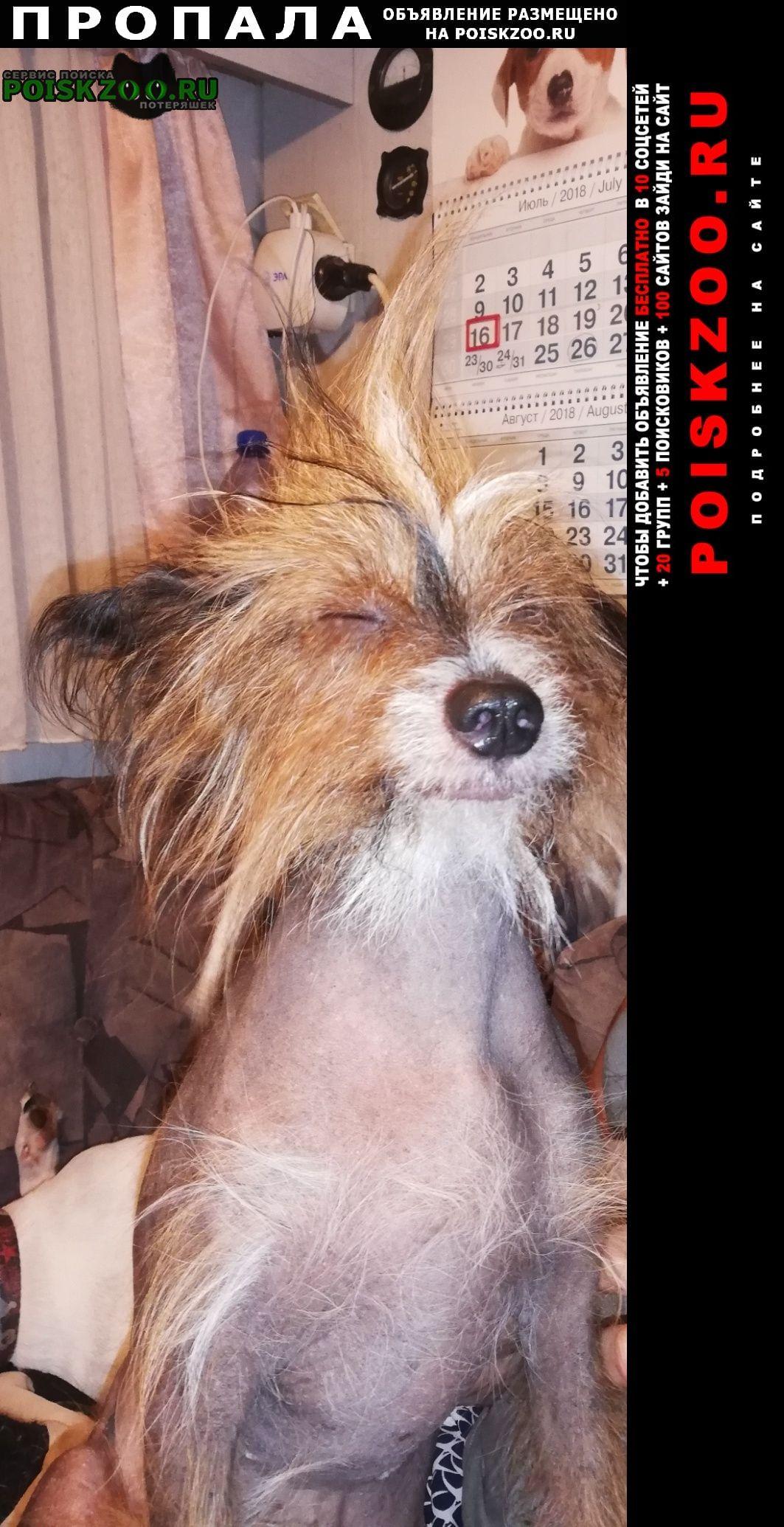 Пропала собака кобель китайская хохлатая Истра