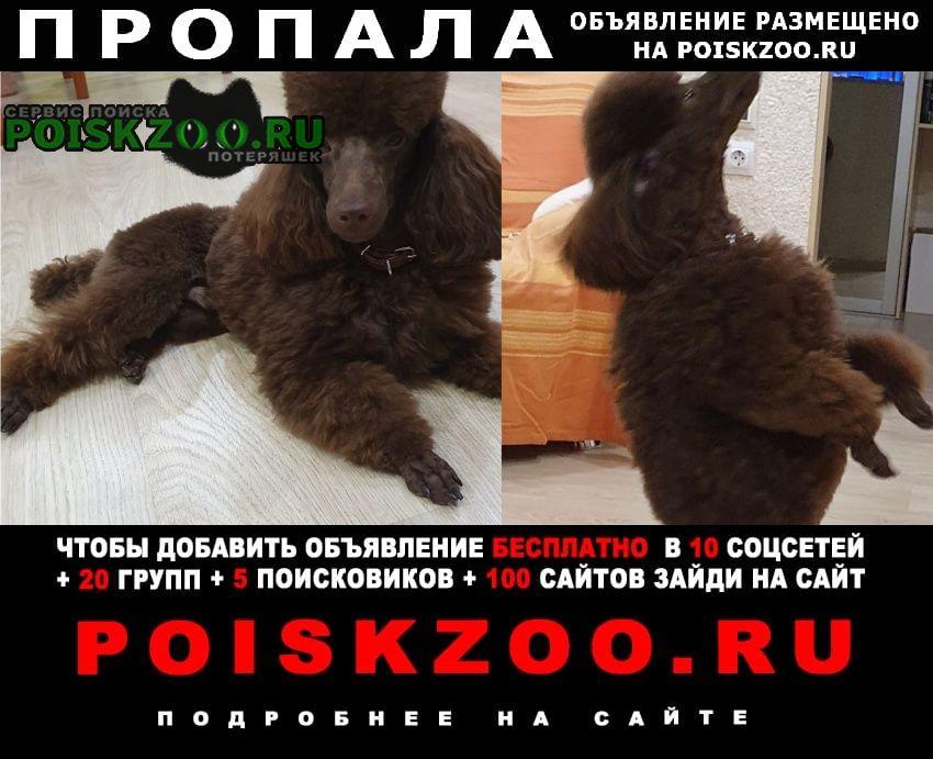 Пропала собака кобель пудель -чукачой с наградой в 15 000 руб. Сыктывкар