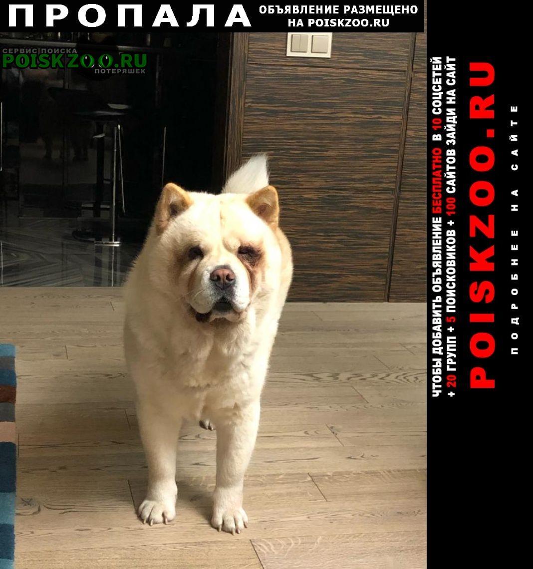 Пропала собака породы чау-чау Троицк