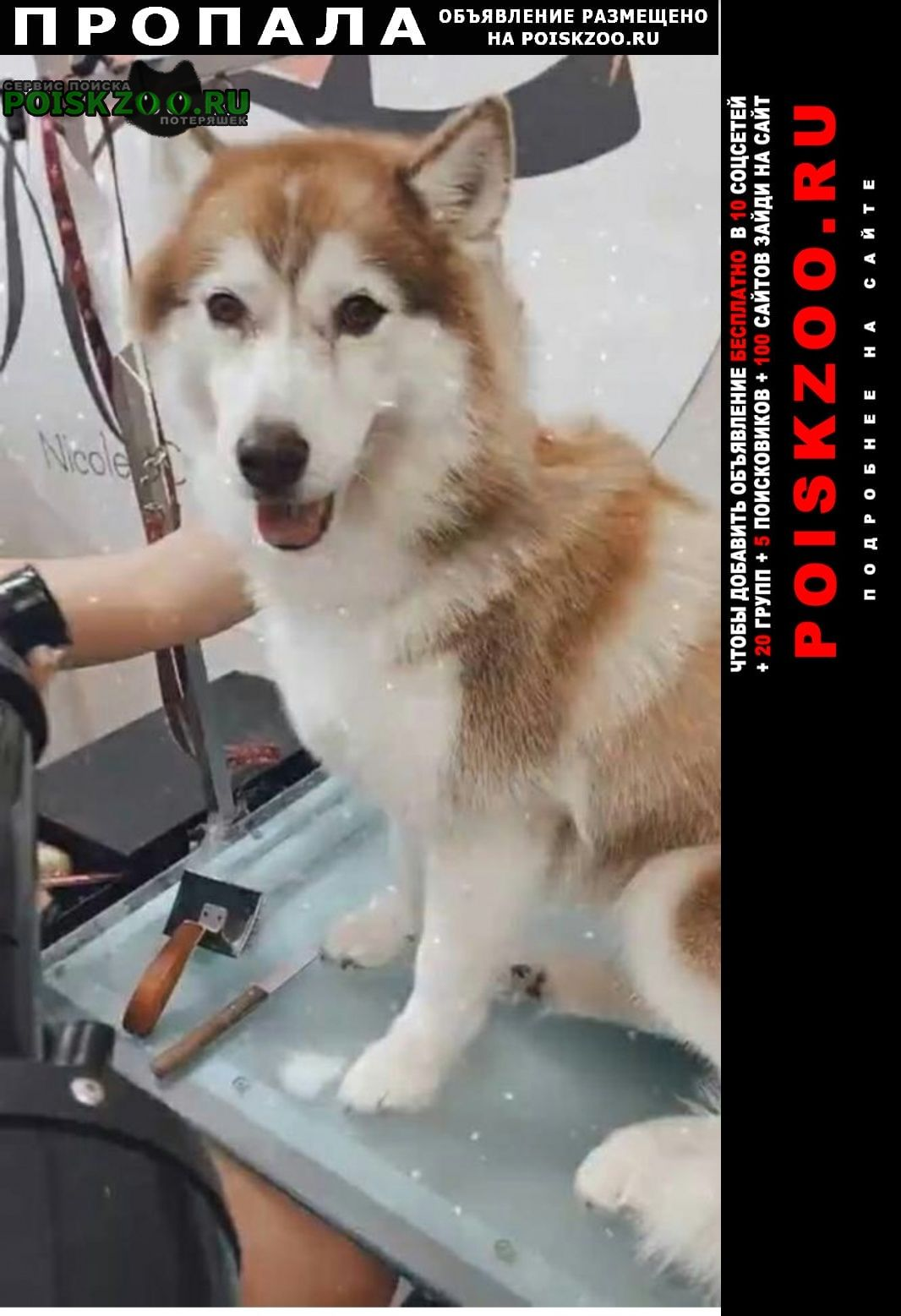 Пропала собака порода хаски Санкт-Петербург