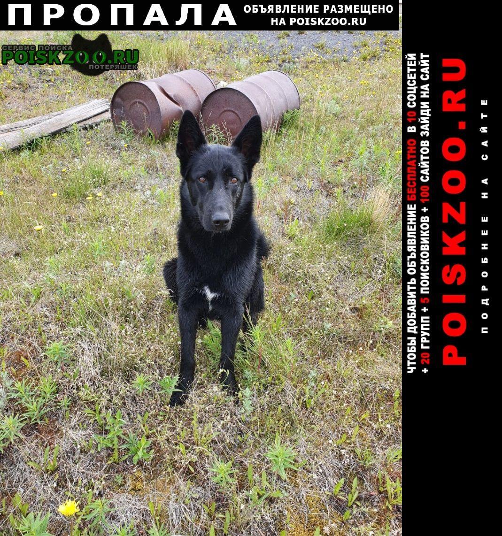 Пропала собака окрас черный и груди белый цвет, окрас г Москва
