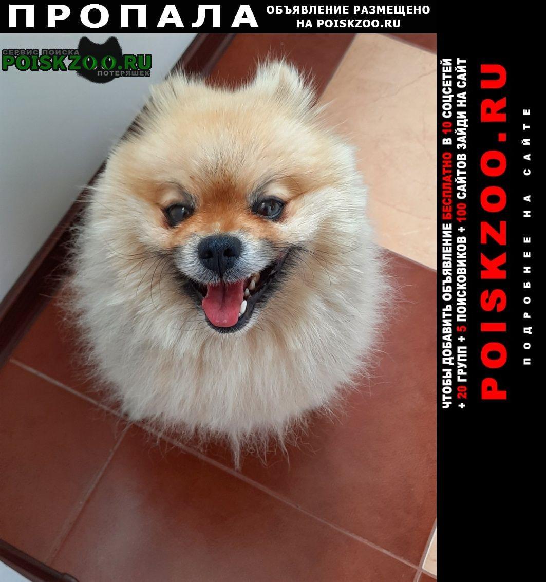 Пропала собака кобель породы шпиц помиран Тюмень