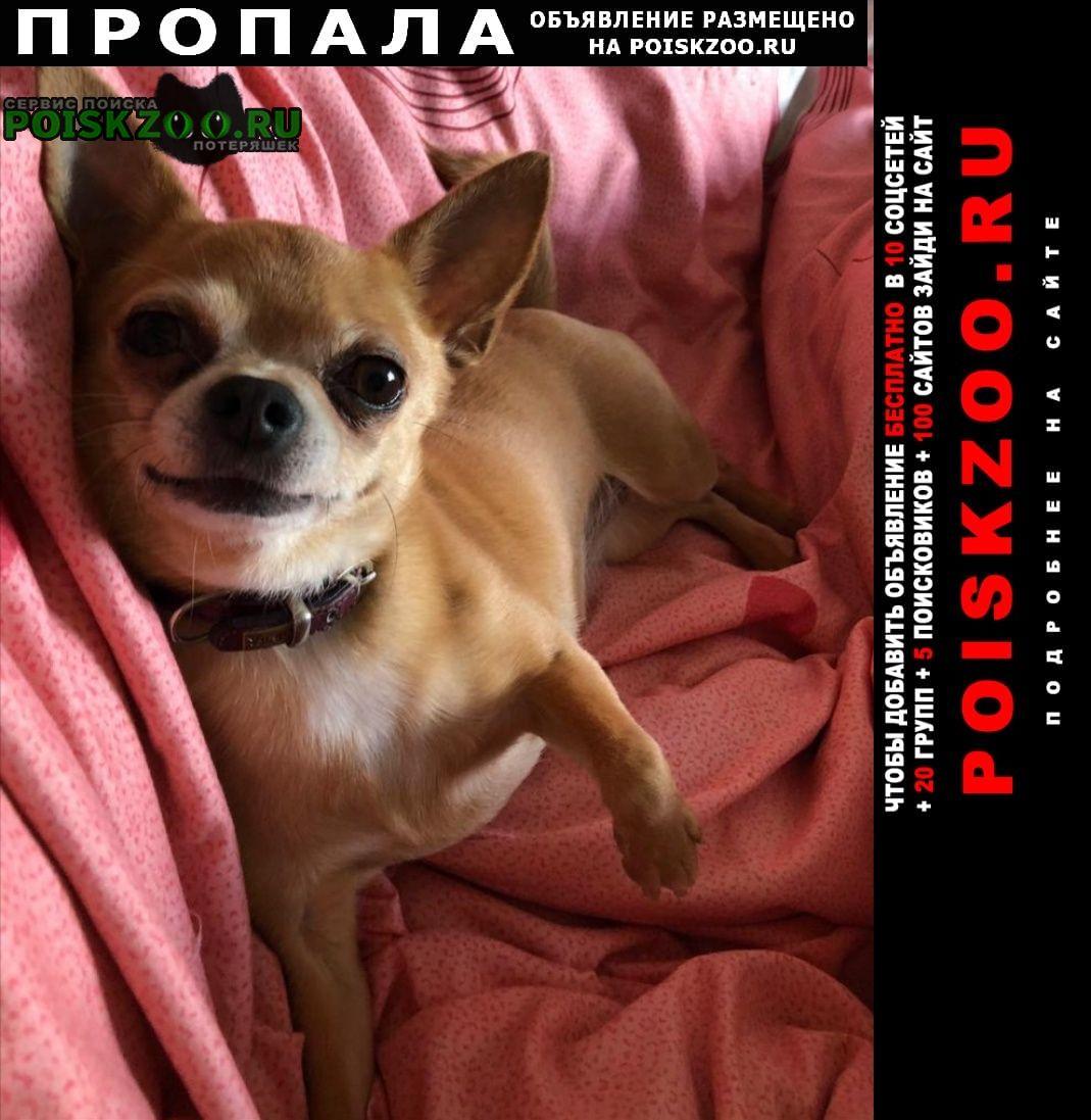 Пропала собака чихуахуа Москва