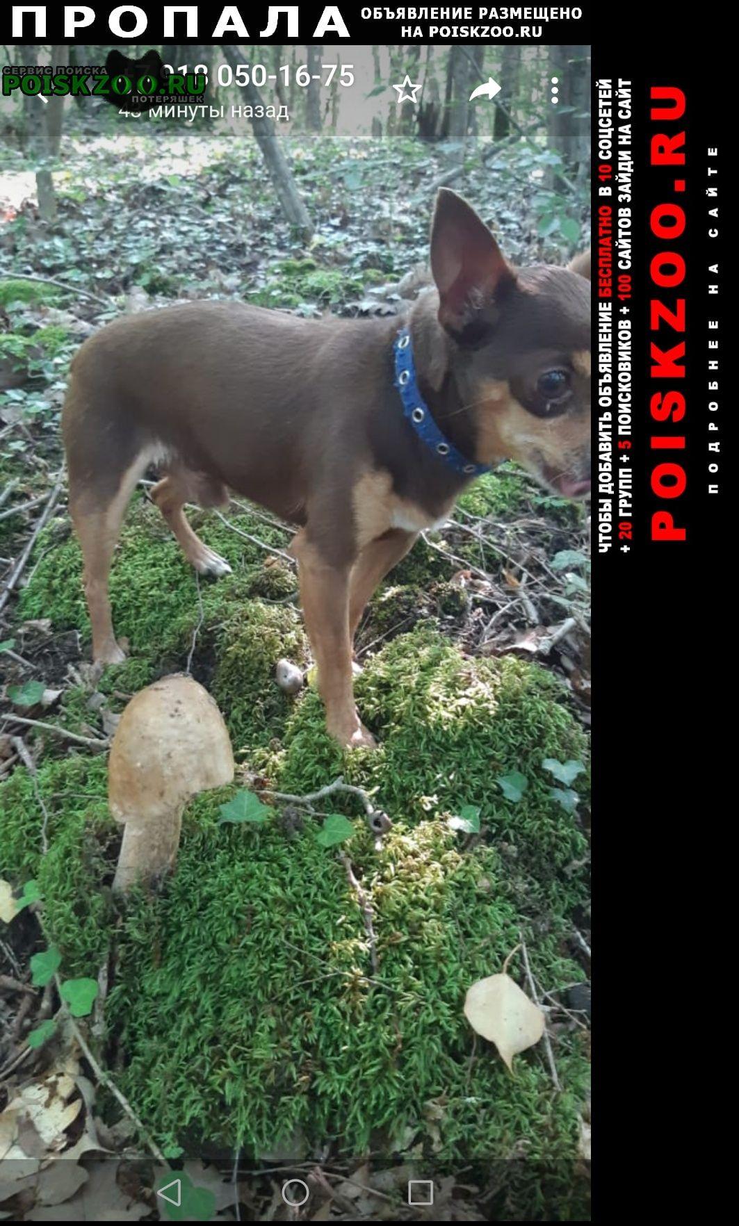 Пропала собака кобель той из архипо-осиповки Геленджик