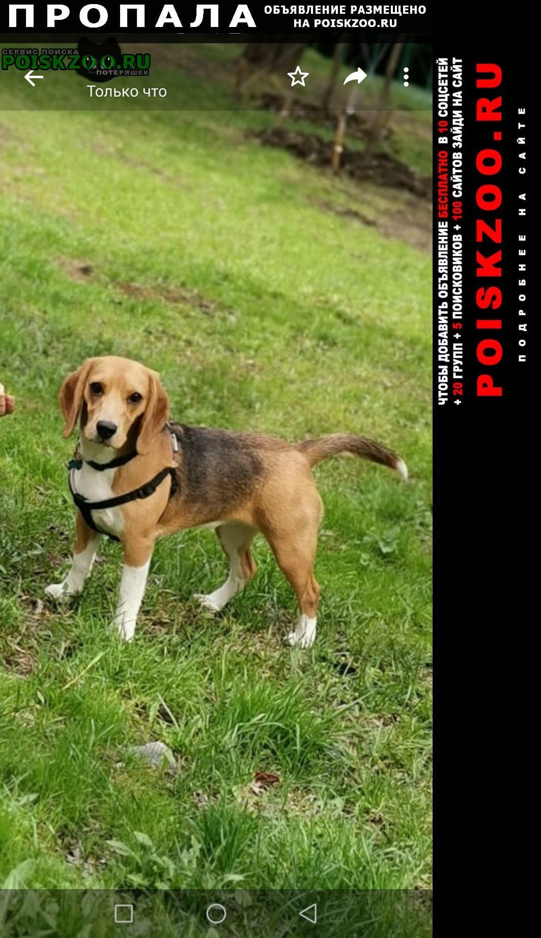 Пропала собака бигль, сука, щенок 11 месяцев Долгопрудный