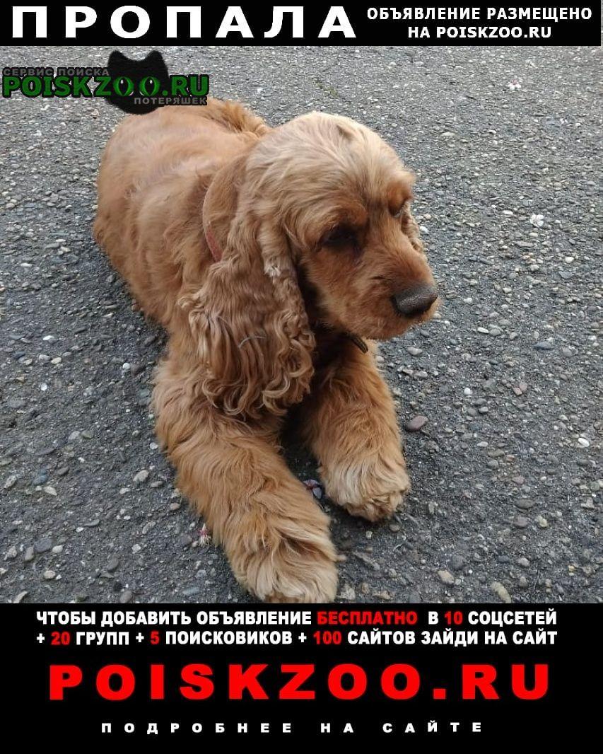 Пропала собака рыжий кокер-спаниель (девочка), с Динская