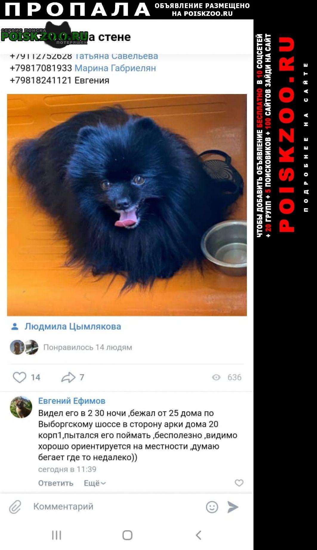 Пропала собака кобель шпиц Санкт-Петербург