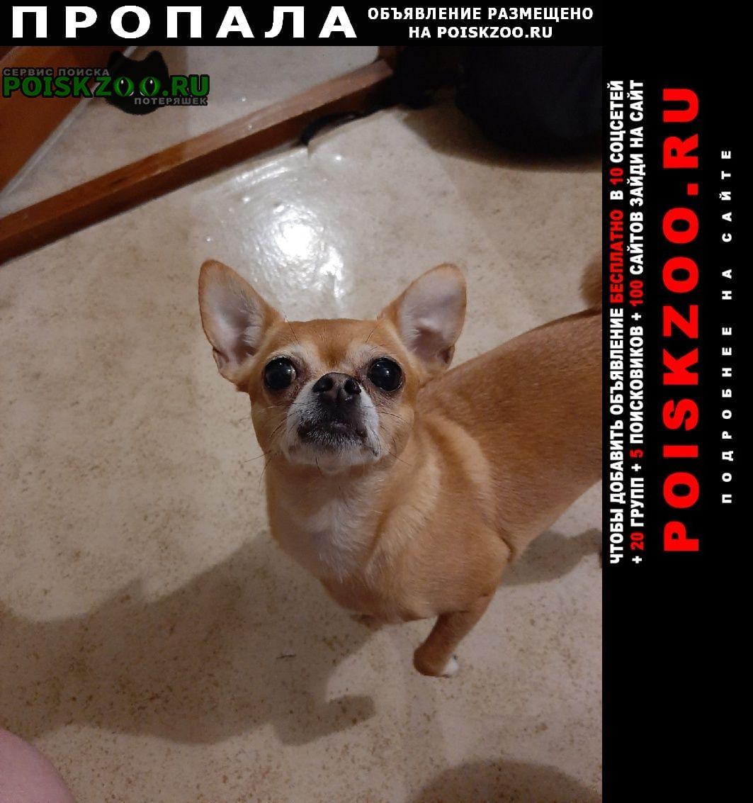 Пропала собака чихуахуа Нижний Тагил