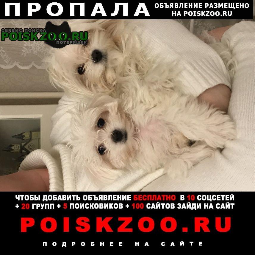 Пропала собака кобель в районе манжерока (озёрное) Горно-Алтайск