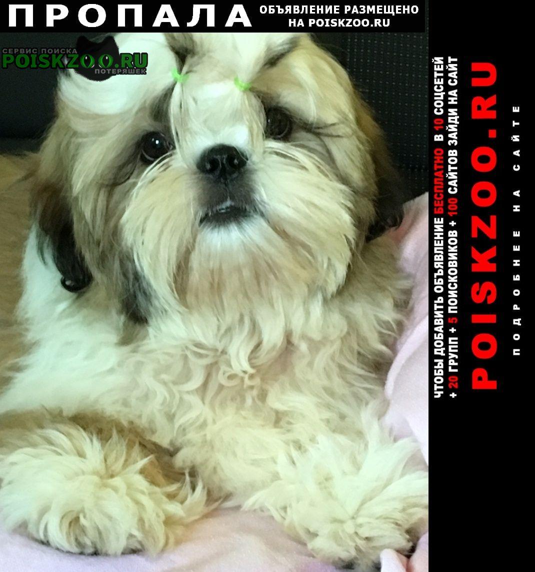 Пропала собака кобель ши тцу мальчик и девочка Ярославль