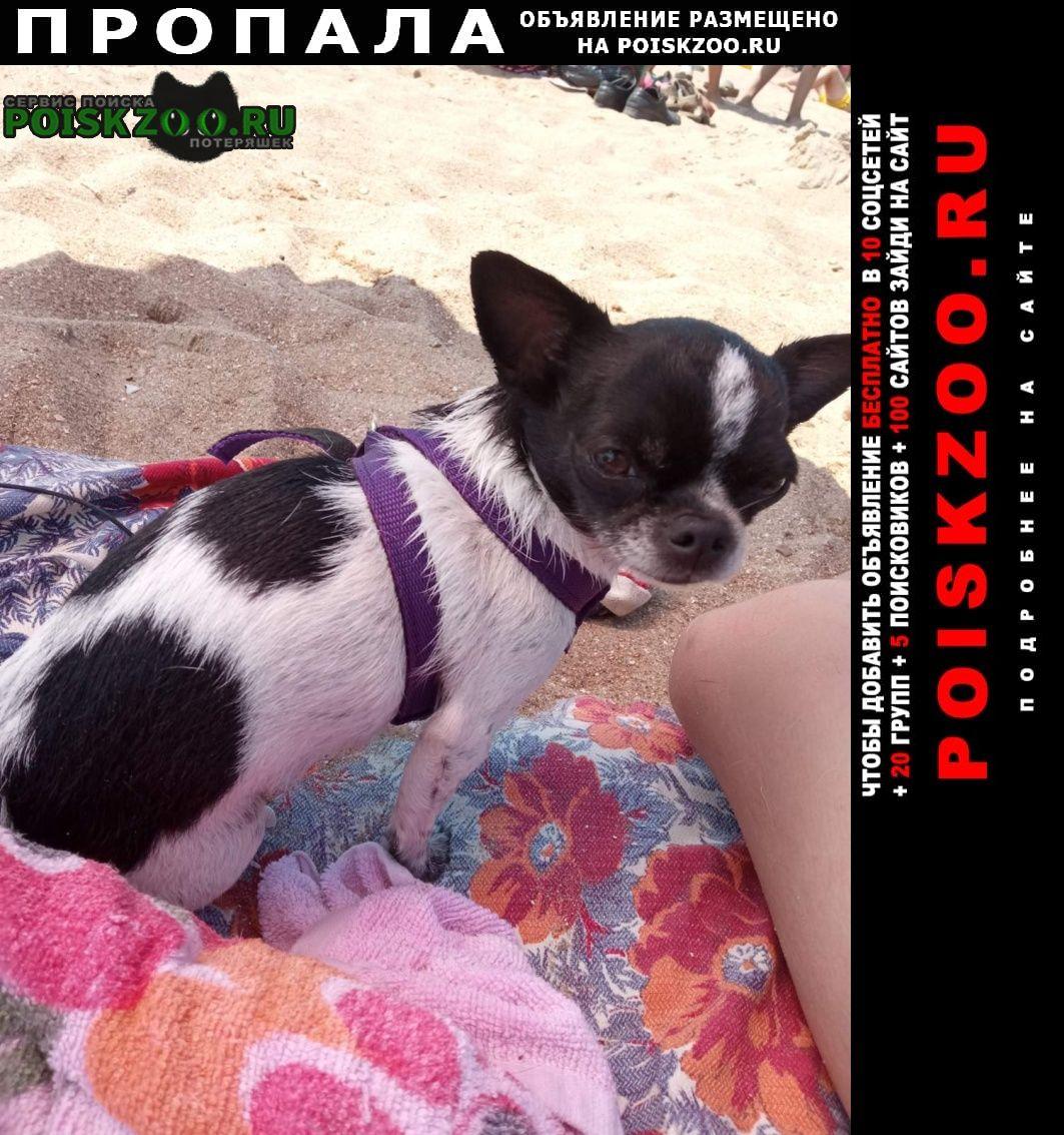 Пропала собака мини чихуахуа Белгород