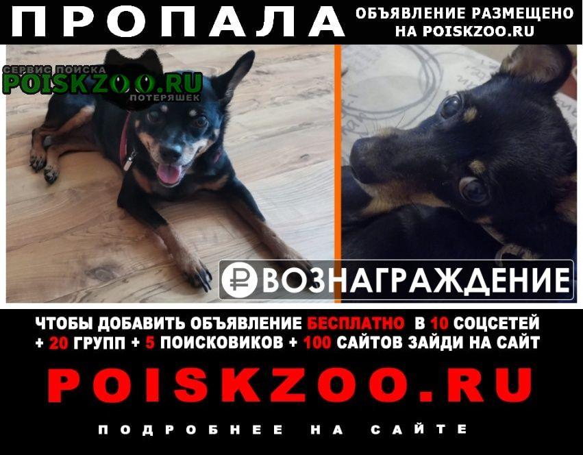 Пропала собака кобель убежала с краснопольского проспекта, 7 Челябинск