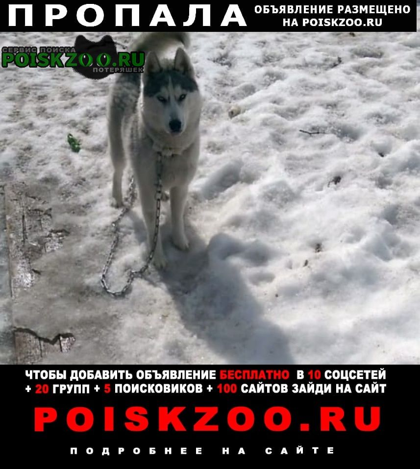 Пропала собака кобель хаски Сыктывкар