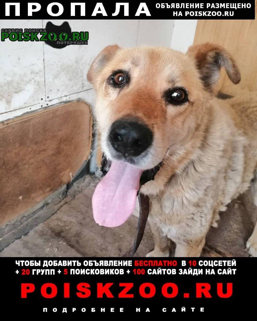 Пропала собака кобель крупный рыжий пожилой метис в Щербинка