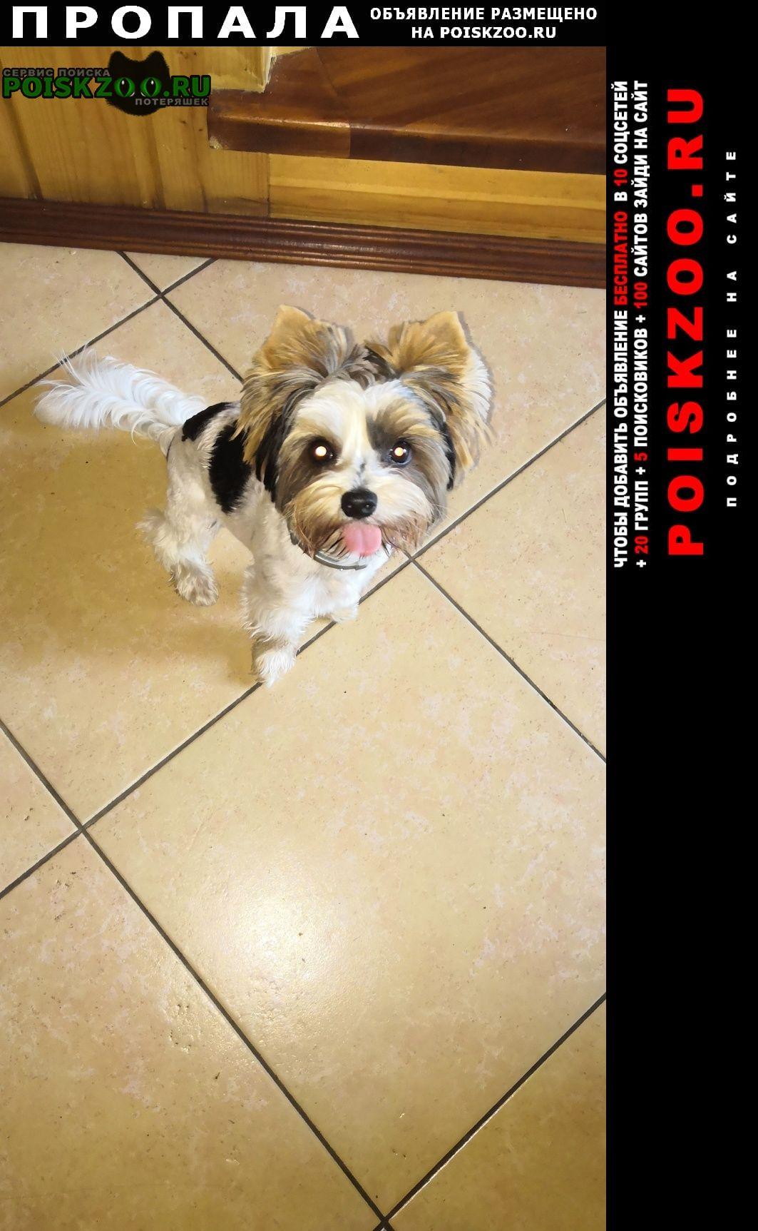 Пропала собака кобель бивер йорк Загорянский