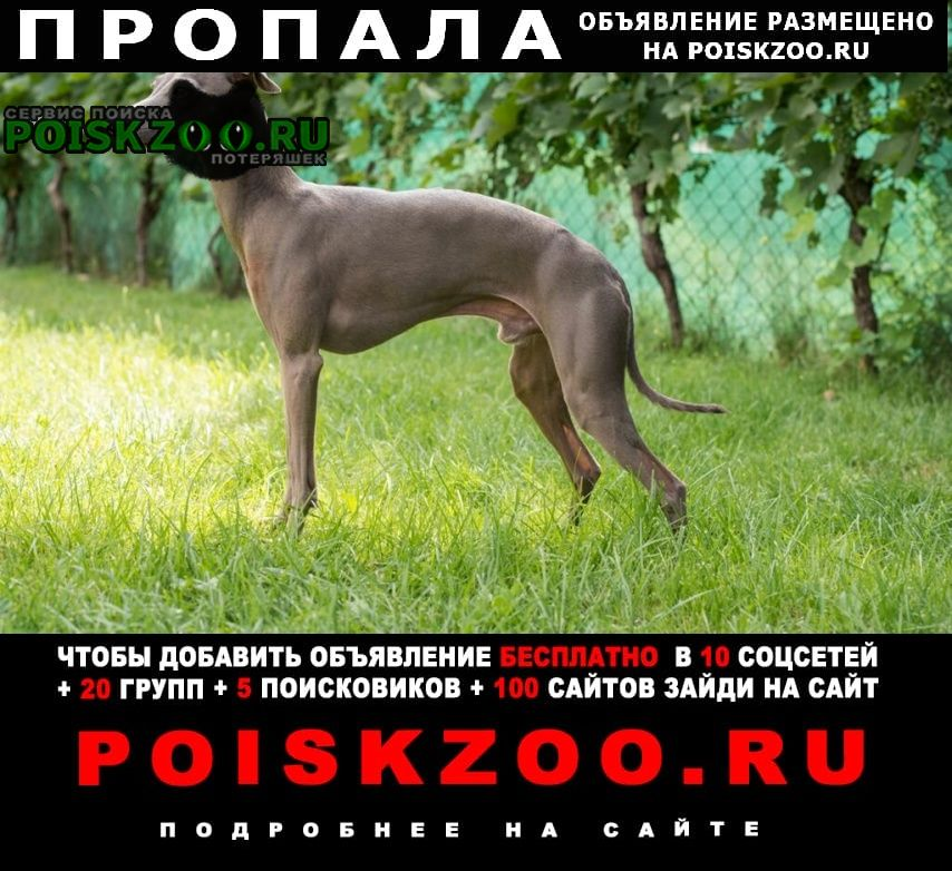 Пропала собака кобель левреткка, мальчик Владимир