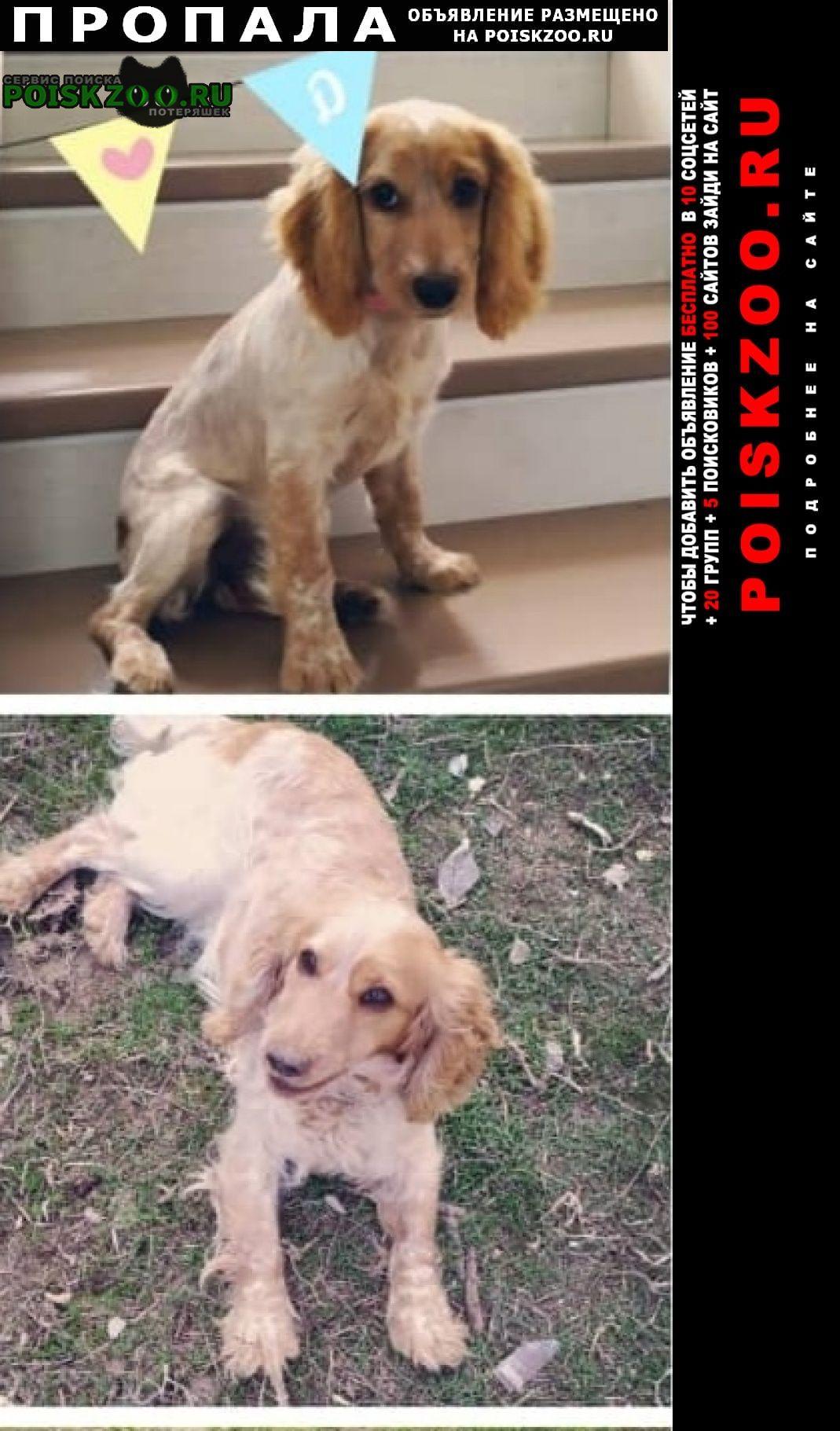 Пропала собака русский спаниель Саратов
